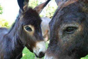 Donkeys Sandos Caracol Eco Wildlife