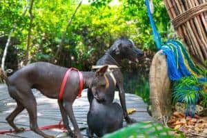 Hairless Mexican Dogs Sandos Caracol Eco Wildlife