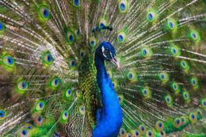 Peacock Sandos Caracol Eco Resort Wildlife