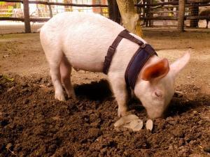 Pigs Sandos Caracol Eco Wildlife