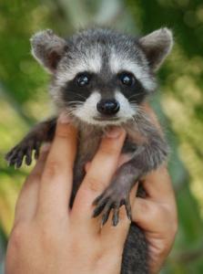 Raccoons Sandos Caracol Eco Wildlife