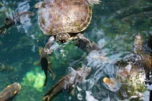 Red Eared Slider Turtle Sandos Caracol Eco Wildlife