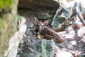 White Tailed Deer Sandos caracol Eco Wildlife