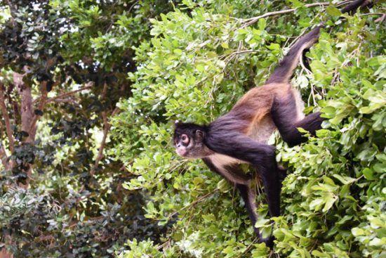 sandos caracol eco spider monkey wildlife